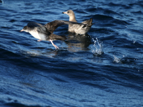 Shearwater taking off